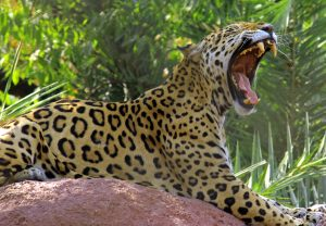 Jaguar_yawn_1